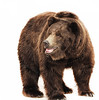 Serrik eb (Bear).. (ZiZLoSs) Tags: bear canon photography eos photographer usm kuwaiti aziz abdulaziz عبدالعزيز عزيز 600d f56l zizloss المنيع ef400mm 3aziz almanie canoneos600d