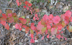 Ribes red (Jeff Goddard 32) Tags: fallcolor latespring santabarbaracounty santaynezvalley morninghike fuchsiafloweredgooseberry midlandschoolproperty