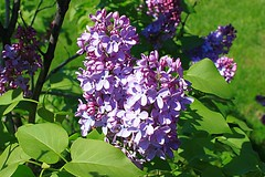 Central Experimental Farm Lilacs 017 (Chrisser) Tags: flowers ontario canada nature garden spring gardening ottawa fourseasons closeups lilacs syringa oleaceae centralexperimentalfarm canonefs1855mmf3556islens canoneosrebelt1i