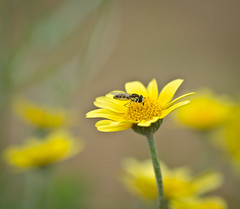 A Real stand out. (Omygodtom) Tags: wild flower macro green art yellow insect fly spring bokeh tamron90mm d7000