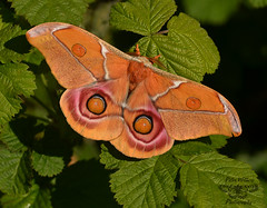 The Madagascan Bullseye Silkmoth (Antherina suraka) - Summer form adult female (Pete Withers) Tags: