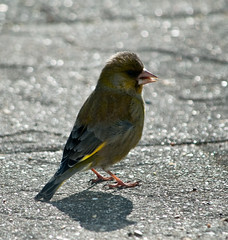Mr Greenfinch charming the ladies (Keith Nurney) Tags: greenfinch