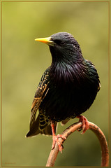 A Regal Looking Starling (bobspicturebox) Tags: robin squirrel egg starling chick sparrow disgarded