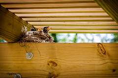 139/365 (2013): Still Hungry (Kevin Riggins Photography) Tags: birds nest chicks day139 project365 day139365 3652013 365the2013edition 19may13