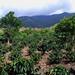 Costa-Rica plantation de café / Costa Rica coffee plantation