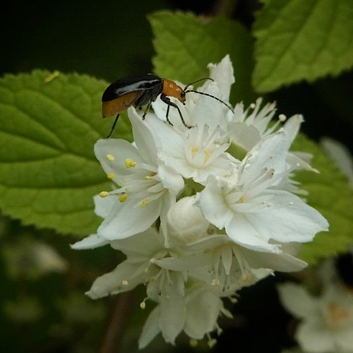 a Leaf Beatle on the Deutzia (2/3)
