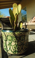 20130523 New Bunny Ears Cactus and Talavera Pot (Prickly Pear) (lasertrimman) Tags: new cactus bunny ears pot pear talavera prickly talavara 20130523
