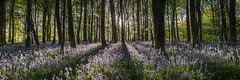 Bluebell Forest (Martyn Hasluck) Tags: wood uk flowers trees tree bluebells season landscape spring flora nikon seasonal panoramic devon nikkor dartmoor beech westcountry forna leefilters d700 floraforna 09hardgrad westcountryclickers leefilters06softgrad