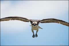 Osprey Floating In