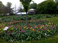 Lund - Sweden (michaeljohnbutton) Tags: lund tulips sweden botanicalgardens