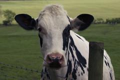 Cooo (cowboy72) Tags: blackandwhite animal canon cow 24105 f4l