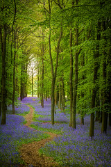 Bluebell Cathedral (Old-Man-George) Tags: uk trees leaves bluebells woodland landscape spring woods british beech ashridge