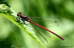 Mr Large Red Damselfly (claylaner) Tags: macro insect cheshire damselfly styal odonata coenagrionidae pyrrhosomanymphula largereddamselfly canon60d vigilantphotographersunite vpu2 vpu3 vpu4 vpu5