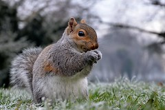 Frosty Squirrel Eating iii (A-Lister Photography) Tags: christmas uk