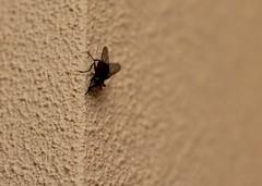 IMG_0062 (matildecastelluccio) Tags: summer estate nero animale mosca primopiano insetto