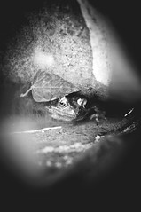 Frog (Matthew-King) Tags: white black water monochrome face out eyes amphibian frog poking
