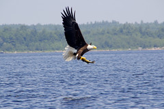 Bald Eagle over 4th Machias Lake