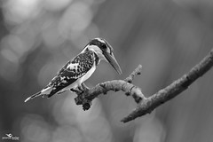 Pied Kingfisher (Poorna Kedar) Tags: wild bw india white black bird nature up asia dof close natural bokeh wildlife birding beak feathers kingfisher pied karnataka mysore