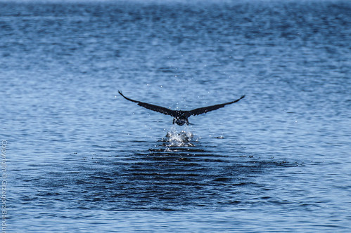 A cormorant taking off