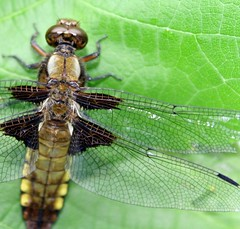 dragonfly macro (*LINNY *) Tags: dragonfly