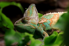 Chameleon (Rikardsdotter) Tags: trip blue orange holiday color colour green eye scale animal animals museum canon eos zoo aquarium leaf crazy sweden stockholm scales leafs chameleon openair 550d canoneos550d rikardsdotter holmstromphotography annacajsaholmstrm