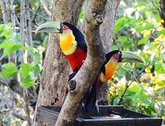 Casal de tucanos (_lekacarvalho) Tags: bigui