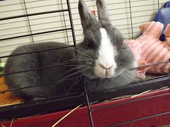 Home Security System! (sakura_chan15) Tags: rabbit bunny netherlanddwarfrabbit