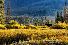 EARLY MORNING MOOSE (Aspenbreeze) Tags: colorado wildlife moose wildanimal bullmoose waldencolorado cowmoose aspenbreeze moonandbackphotography bevzuerlein foreststatepark