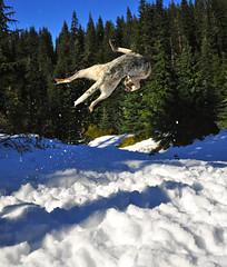 _DSC2618 (TQWestphal) Tags: dog snow washington nikon husky cattle hike arctic ridge tonga dingo heeler d700