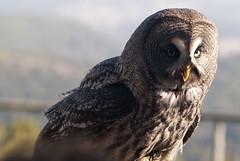 CFR7850 (Carlos F1) Tags: barcelona bird animal spain nikon au ave owl pajaro raptors birdsofprey falconry pjaro rapaz buho d300 ocell cetreria santfeliudecodines rapinyaire halconeria