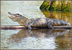 Mississippi Gator (Suzanham) Tags: mississippi reptile alligator noxubeewildliferefuge