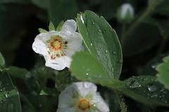 Potentilla montana, Berg-Fingerkraut, Blte (julia_HalleFotoFan) Tags: rosaceae potentilla fingerkraut rosengewchs potentillamontana botanischergartenhalle bergfingerkraut