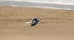 Fly like a bird (lhb-777) Tags: above sea sun bird beach strand speed outside fly spring dunes zee zon meeuw buiten vogel duin boven voorjaar snelheid vliegen perspectief pvb2011