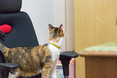 20140129-IMG_1416 (Noelas) Tags: pet cat canon eos is momo taiwan mo 01 l 5d 29 dslr   ef f4    2014 24105 yunlin markiii  24105mm 24105l  canonef24105mmf4lisusm  241054lis l  241054 canoneos5dmarkiii 5d3