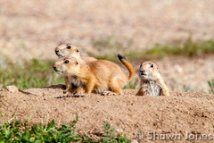 May 16, 2015 - Baby prairie dogs enjoy the sun in Adams County. (Shawn Jones)