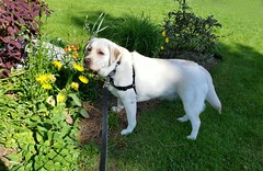 Gracie with flowers (walneylad) Tags: flowers dog pet cute puppy spring gracie lab pretty labrador may canine labradorretriever