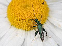 Oedemera nobilis (Brian_Pater) Tags: white flower beetle oil false margriet oedemera oedemeridae fraaie schijnboktor nobelis