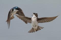 Food pliiiiz! (bmse) Tags: tree san wildlife joaquin swallow juvenile sanctuary