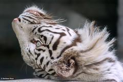 Sky  - Lateral Thinking (Harimau Kayu (AKA Sumatra-Tiger)) Tags: sky tiger zoo animal bigcat bigcats feline bengaltiger pantheratigristigris knigstiger indischertiger eltigredebengala tigredubengale latigrerealedelbengala   whitetiger weisertiger tigreblanco tigreblancroyal   zooshot tobu tobuzoo snowwhite sunbathing canada playful playfulcat playfultiger playfulwhitetiger bengal sex blueeyes curiosity