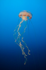 Rising From The Deep Blue (mattybecks3) Tags: blue deep ocean animals jelly fish jellyfish aquarium