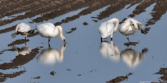 2012-11-05 Trumpeter Swans (06) (2048x1024) (-jon) Tags: anacortes skagitcounty skagit washingtonstate salishsea pugetsound firisland cygnusbuccinator trumpeterswan swan bird waterfowl pacificnorthwest winter d90archives water reflection a266122photographyproduction potatofield preening grooming zwaan schwan cigno cisne