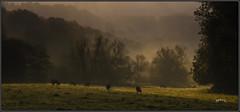 Mellow Autumn. (Picture post.) Tags: landscape nature green autumn cattle trees hills mist fields paysage arbre brume interestingness shadows golden ambience
