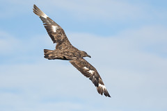 Great Skua #1 (scilly puffin) Tags: great greatskua pelagic sapphirepelagics islesofscilly