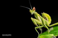 Mantis (Creobroter sp.) - PA120032 (nickybay) Tags: singapore durianloop macro hymenopodidae mantis meantodea creobroter nymph