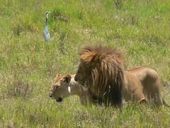 Lions in the Mara ! (Mara 1) Tags: africa kenya masai mara outdoors wildlife lions animals grass bigcats egret bird