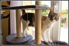 JIK'LO (Les photos de LN) Tags: chat cat pet animaldomestique animaldecompagnie flin chatte isabelle mammifre