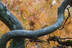 Japanese Maple (jeff's pixels) Tags: kubota japanese seattle maple tree outdoors nature color garden zen fall autumn