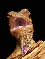 Gonocephalus bellii [Bell's Forest Dragon] (kkchome) Tags: herp herping herpetology reptile lizard gonocephalus bellii bells forest dragon asia malaysia bukit fraser wildlife fauna nature