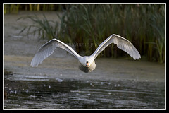 IMG_0055 Mute Swan (scotchjohnnie) Tags: muteswan cygnusolor ornithology bird birdphotography ukbirds waterbird waterfowl nature naturewildlifeandbirds wildlife wildanimal canon canoneos canon7dmkii canonef100400f4556lisiiusm scotchjohnnie