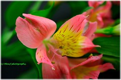 Beautiful bokeh Lily. ((c) MAMF photography..) Tags: flowers art britain beauty colour england flickrcom flickr google googleimages gb greatbritain greatphotographers greatphoto image ls27 mamfphotography mamf nikon north northernengland photography photo uk unitedkingdom upnorth westyorkshire yorkshire lily lilies